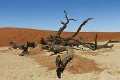 Dead Vlei Tree Namibia