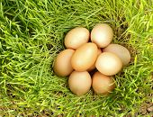 stock photo of hatcher  - Pile of chicken eggs between green fresh wheat - JPG