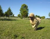 Labradoodle Running At The Park