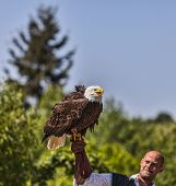Bald Eagle And Male Bird Tamer