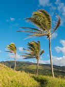 Coconut Trees In Wind