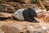 Malayan Tapir Animal