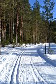 Forest In Winter, Sunny Day