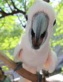 Cockatoo brid