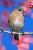 picture of bluebird  - Female Eastern Bluebird  - JPG