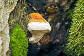 An image of a very nice Tree Mushroom