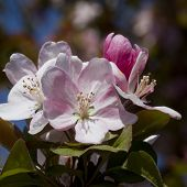 Malus Pink Spring Crab Apple Blossoms
