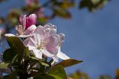 Pink Flowering Crabapple Blossom Background