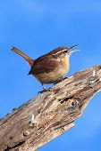 Carolina Wren On A Stump