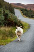 Sheep trotting along the road in the Scottish Highlands.