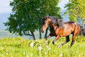 bay horse goes on a green meadow