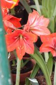 stock photo of belladonna  - Amaryllis is a beautiful flowering plant and it is a single species called Amaryllis belladonna - JPG