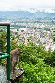 Monkey at Kathmandu. Nepal