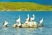image of poo  - pelicans perching on poo covered rock in river - JPG