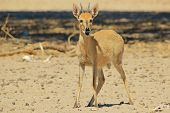 Duiker - Wildlife Background from Africa - Funny Nature and Cute Animals