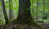 Very Old Oak Trunk Moss Wrapped