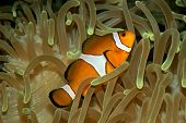 Underwater view of an Ocellaris clownfish (Amphiprion ocellaris) and sea anemone