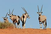 Gemsbok antelopes (Oryx gazella) on dune, Kalahari, South Africa