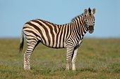 Plains (Burchell's) Zebras (Equus quagga), South Africa