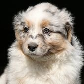 image of frot  - Amazing puppy of australian shepherd in frot of black background
