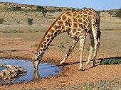 Giraffe (Giraffa camelopardalis) drinking water at a waterhole, Kalahari desert, South Africa