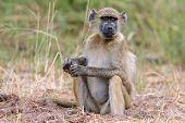 Sitting Chacma baboon (Papio hamadryas ursinus), Chobe National Park, Botswana, southern Africa