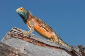 Male ground agama (Agama aculeata) in bright breeding colors, Kalahari desert, South Africa