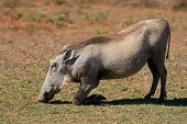 A warthog (Phacochoerus africanus) feeding on grass, South Africa