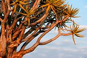 Branches of a quiver tree (Aloe dichotoma) in early morning light, Namibia, southern Africa