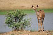 A young kudu antelope (Tragelaphus strepsiceros), South Africa