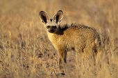 Bat-eared fox (Otocyon megalotis) , Kalahari desert, South Africa