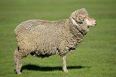 A merino sheep standing in lush green pasture