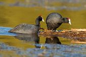 A pair of redknobbed coots (Fulica cristata) nesting on floating vegetation, South Africa