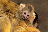 Squirrel monkey (Saimiri sciureus) with small baby