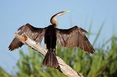 Darter (Anhinga melanogaster) sitting with open wings, Yellow water billabong, Kakadu National Park, Australia
