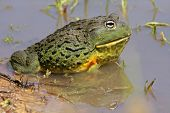 Male African giant bullfrog (Pyxicephalus adspersus) in shallow water, South Africa