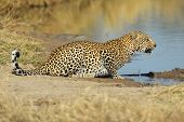 Male leopard (Panthera pardus) drinking water, Sabie-Sand nature reserve, South Africa
