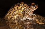Mating red toads (Amietophrynus gutturalis) in water with reflection, South Africa