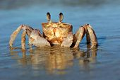 Alert ghost crab (Ocypode ryderi) on the beach, South Africa