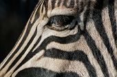 Close-up of the eye of a Plains (Burchell's) Zebra (Equus quagga), South Africa