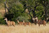 Kudu antelopes (Tragelaphus strepsiceros) in savanna habitat, South Africa