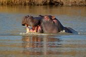 Aggressive Hippopotamus (Hippopotamus amphibius) with open mount in water, South Africa