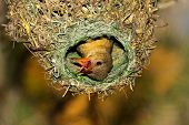 Female Cape weaver (Ploceus capensis) in her nest, South Africa