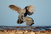 Two helmeted guineafowl (Numida meleagris) fighting, Etosha National Park, Namibia