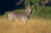 Plains (Burchells) Zebra (Equus burchelli), South Africa