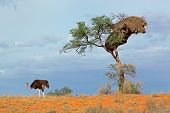 An ostrich (Struthio camelus) and an Acacia tree on a red sand dune, Kalahari desert, South Africa