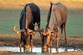 Blue wildebeest (Connochaetes taurinus) drinking water, Kalahari desert, South Africa