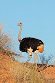 Male Ostrich (Struthio camelus) on a red sand dune, Kalahari desert, South Africa
