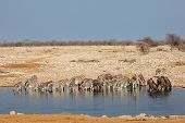 Plains zebras and blue wildebeest gathering at a waterhole, Etosha National Park, Namibia
