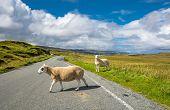 Delay due to crossing sheep